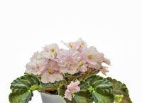 Beautiful blossoming plant of Senpolia or Uzumbar violet (saintpaulia) with delicate pink petals