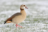 Egyptian Goose * Alopochen aegyptiacus * in winter, waddeling / walking over snow covered farmland