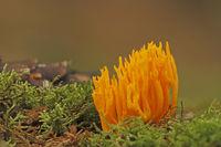 Stagshorn Calocera viscosa