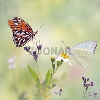 Gulf Fritillary and Great Southern White butterflies