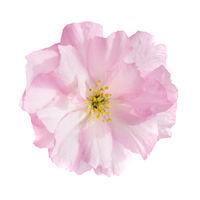 Pink sakura flower isolated on white