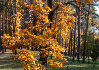 Autumn landscape: autumn trees in the Park with yellow leaves.