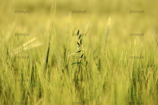 image of a corn field near Maisach