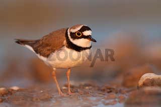 Close-up of little ringed plover, Charadrius dubius at sunset with copy space