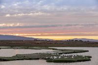 Flock of Great White Pelicans perched in the Marshlands of Baylands Nature Preserve with Sunset Skie