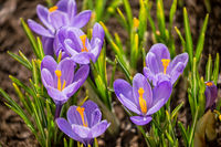 Purple crocuses blooming in spring on flowerbed