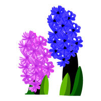 Vector illustration of pink and blue hyacinth flowers with green leafs on white background.