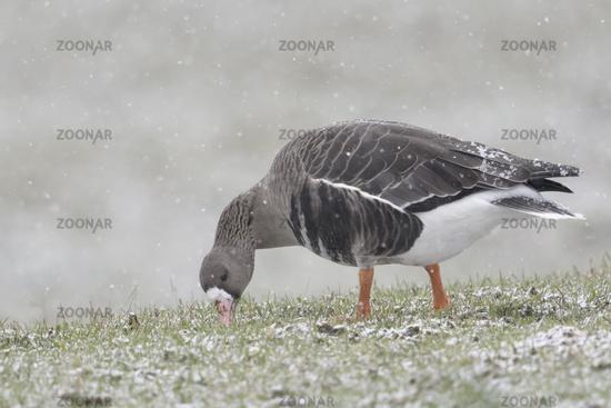 Greater White-fronted Goose * Anser albifrons * in winter, feeding, winter, snowfall