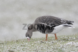 bei der Äsung... Blässgans * Anser albifrons * im Schneefall