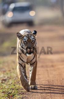 Tiger on the road seen at Tadoba, Chandrapur, Maharashtra, India.