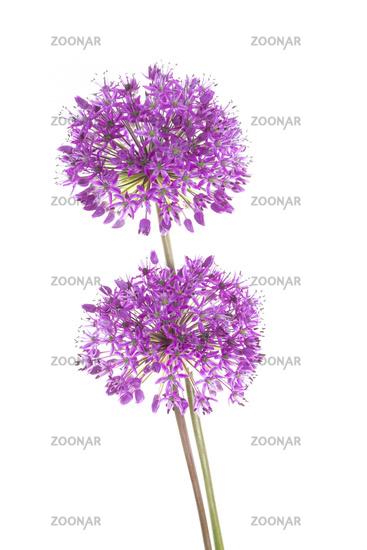 Allium giganteum, Giant onion