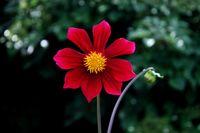 Dahlia, blossom, re