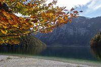 Buche am Königssee in Bayern