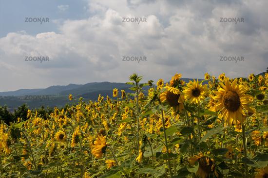Sunflowers (Helianthus annuus), sunflower field