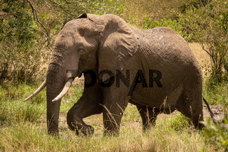 African bush elephant walks past muddy pool