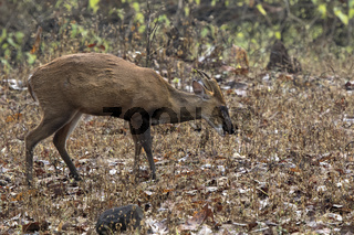 male Indian muntjac or barking deer that is grazing in the woods on a winter rainy day