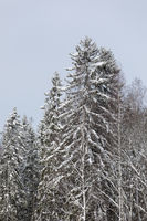 Calm cloudy winter day and treetops covered in snow