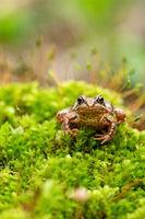Moor frog.
