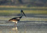 Black necked stork, Ephippiorhynchus asiaticus, Bharatpur, Rajasthan, India