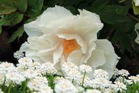 Flower of Japanese peony, Paeonia