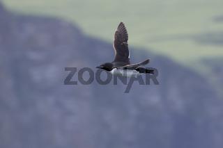 brunnichs guillemot which flies against the background of rocky coastline