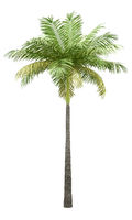 bottle palm tree isolated on white background