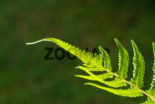 Closeup of fern leaf