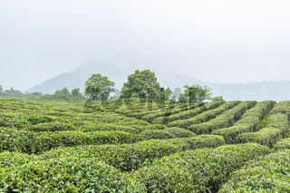 tea plantation in cloud and mist