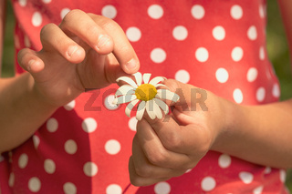Child hands pulling petals off a daisy