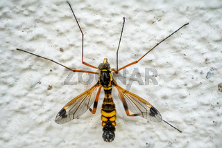 detailed macro of a male crane fly