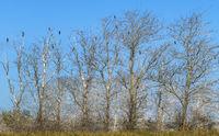 The cormorant trees near Ahrenshoop