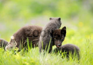 Arctic fox female with cute little playful cubs