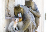 Mandrill Family in the zoo