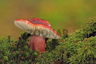 Roter Herings-Taeubling (Russula xerampelina)