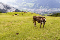cow on meadow, south tyrol, italy