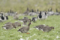 flock of widl arctic geese... Greater White-fronted Geese together with Barncle Geese