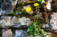 Dandelions on a stone wall