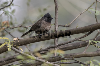 Red-vented Bulbul that sits on a branch of a small tree at the edge of a forest