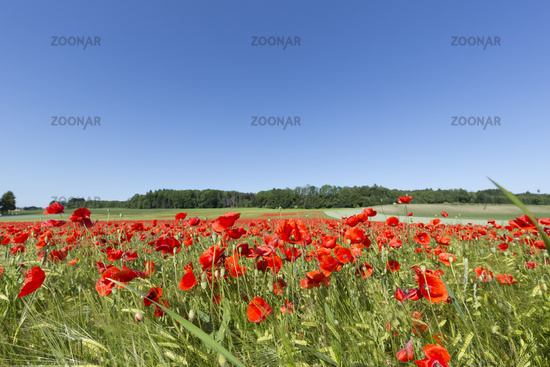 Blooming poppy field on agricultural land