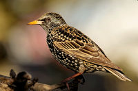 Common starling in bredding plumage