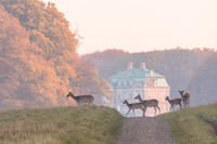 Fallow Deer, Dama dama, females and fawns crossing the dirt road in Dyrehave, Denmark. The Hermitage Palace out of focus in the background.