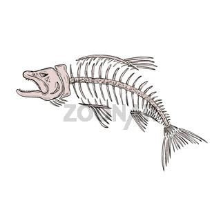 King Salmon Skeleton Drawing