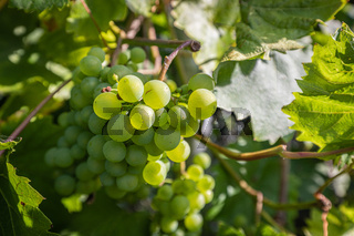 green grapes hanging from a vine in the sunshine