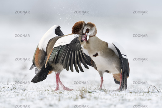 Egyptian Geese * Alopochen aegyptiacus * in winter, fighting in snow