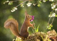 red squirrel is smelling a tulip