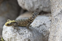 northern curly-tailed lizard that sits among the rocks and looks ahead on a bright sunny day