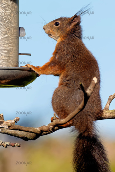 Red Squirrel eating sunflower seed