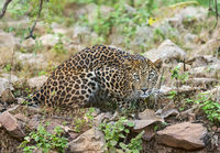 Leopard at Tadoba National Park, Chandrapur district, Maharashtra, India.