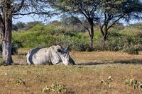 male of white rhinoceros Botswana, Africa