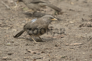 Jungle Babbler sitting on the ground on a bright, sunny winter day